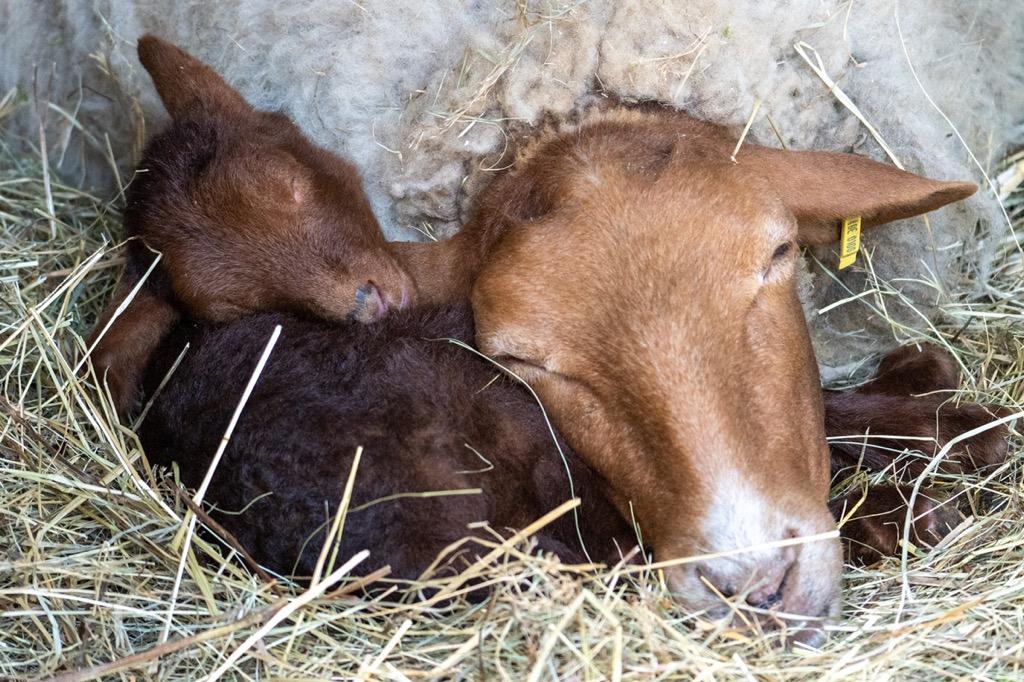 Schaf mit Neugeborenem