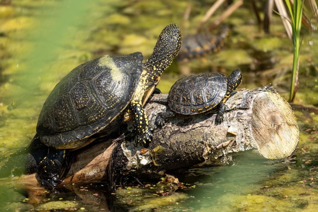 Schildkröten sonnen sich